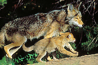 Wild Coyotes--mother and young pup.  Western U.S., June.
