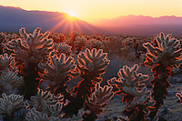 Teddy bear cholla at sunrise<br />