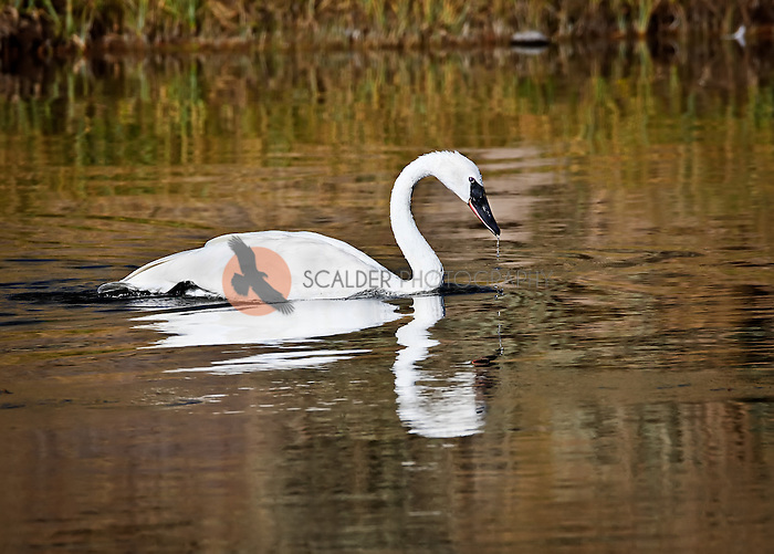 Trumpeter Swan in Madison River with water dripping off beak
