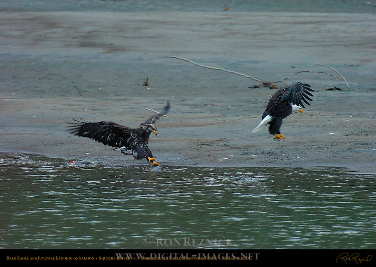 Bald Eagle and Juvenile Landing on Salmon, Squamish River, Brackendale Eagles Provincial Park, Vancouver, British Columbia