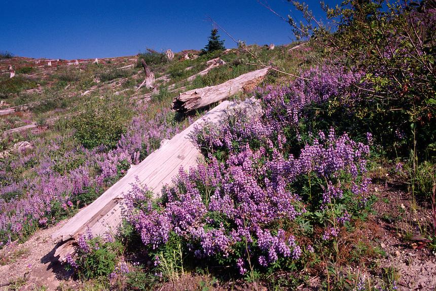 Broadleaf Lupine (Lupinus latifolius), Mt. St. Helens National Volcanic Monument, Washington, US