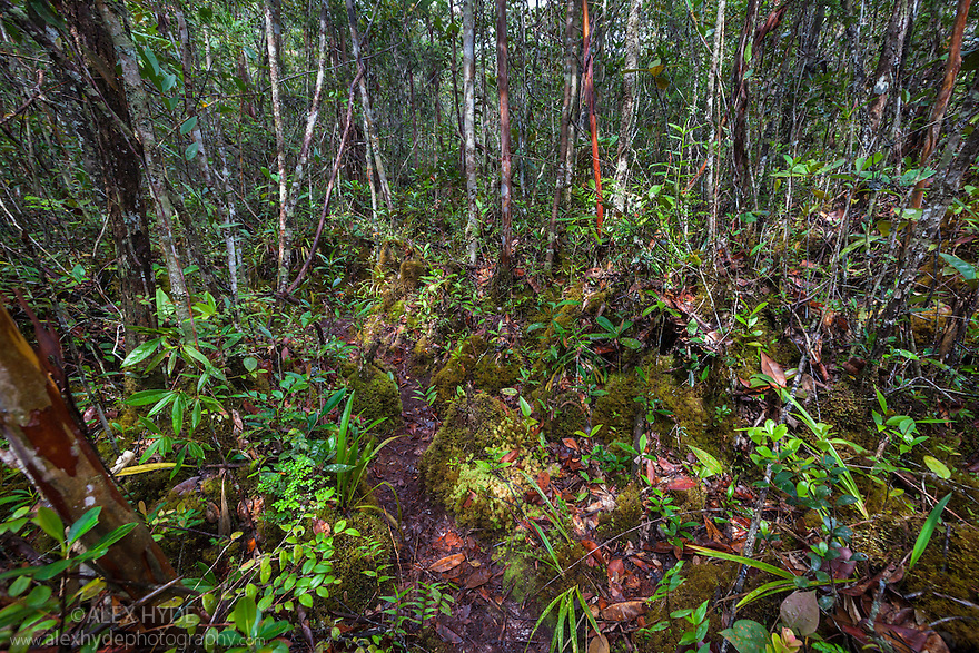Montane mossy heath forest or 'kerangas' on the southern plateau of Maliau Basin, Sabah's 'Lost World', Borneo.