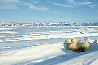 polar bear, Ursus maritimus, sleeping in the snow Spitzbergen, Norway, polar bear, Ursus maritimus