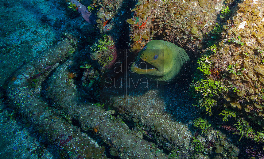 Green moray eel (Gymnothorax funebris) at El Águila wreck, West End, Roatan, Honduras.