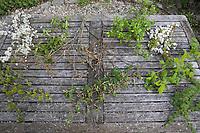 Heilsame Sträucher im Frühjahr, Kräuter sammeln, Kräuterernte, Erntekorb, Korb, Wildpflanzen sammeln, Frühjahrskur, Blutreinigung. Gewöhnliche Schlehe, Schwarzdorn, Blüte, Blüten, Schlehenblüte, Prunus spinosa, Blackthorn, Sloe, Epine noire, Prunellier. Brombeere, Echte Brombeere, Rubus fruticosus agg., Rubus sectio Rubus, blackberry, bramble, ronce, Blatt, Blätter, leaf, leaves. Stiel-Eiche, Eichen,Stieleiche, Eiche, Quercus robur, Quercus pedunculata, English Oak, pedunculate oak, Le chêne pédonculé. Eingriffliger Weißdorn, Weissdorn, Weiß-Dorn, Weiss-Dorn, Crataegus monogyna, English Hawthorn, May, Aubépine monogyne. Vogel-Kirsche, Vogelkirsche, Kirsche, Süß-Kirsche, Süss-Kirsche, Süsskirsche, Süßkirsche, Wildkirsche, Wild-Kirsche, Kirschblüte, Blüte, Blüten, Prunus avium, Gean, Mazzard, Wild Cherry, Le merisier, cerisier des oiseaux. Wilde Himbeere, Himbeer-Ranken, Rubus idaeus, Raspberry, Rasp-berry, La framboise. Europäische Lärche, Larix decidua, European Larch, Le Mélèze d'Europe, Mélèze commun. Hunds-Rose, Hundsrose, Heckenrose, Rose, Wildrose, Rosa canina, Common Briar, Dog Rose, wild brier, Eglantier commun, Rosier des chiens. Gewöhnliche Hasel, Haselnuß, Haselnuss, Corylus avellana, Cob, Hazel, Coudrier, Noisetier commun.