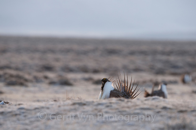 A large lek of Greater Sage-Grouse (Centrocercus urophasianus). Sublette County, Wyoming. April.