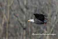 00807-03710 Bald Eagle (Haliaeetus lecocephalus) in flight with fish Clinton Co. IL