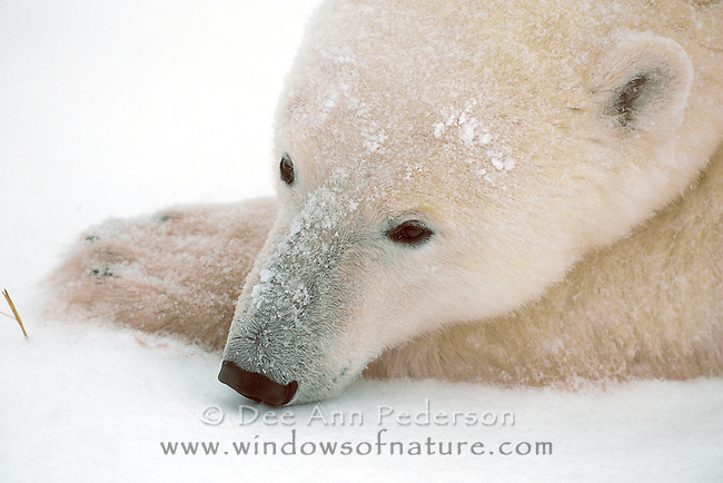 Male subadult polar bear patiently awaits the sea ice to meet the shore ice of Hudson Bay, providing passage to hunt seals.