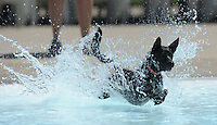 NWA Media/ANDY SHUPE - Mittsy, a dog owned by Shelley Williams of Prairie Grove, leaps to catch a tennis ball while playing in the pool during the second Soggy Doggy Swim Party Saturday, Aug. 23, 2014, at the Prairie Grove Aquatic Park. The Friends of the Prairie Grove Pound hosted the event as a fundraiser for the facility. Visit nwamedia.photoshelter.com to see more photographs.