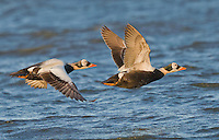Adult male spectacled eider in flight over a pond on the Alaskan tundra<br />