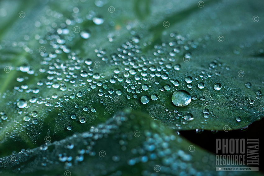 Water droplets cover a kalo leaf in Kalihi, O'ahu; a kalo (or taro) root can be made into poi, a Hawaiian staple food.