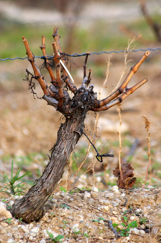 Domaine Jean Baptiste Senat. In Trausse. Minervois. Languedoc. Vines trained in Gobelet pruning. Old, gnarled and twisting vine. Vineyard in winter. France. Europe. Vineyard.