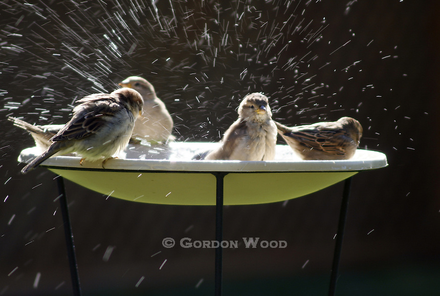 Bird Bathing Spree