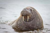 Atlantic walrus, Odobenus rosmarus rosmarus, Phippsoya, Sjuoyane, Svalbard Archipelago, Svalbard and Jan Mayen, Norway, Europe