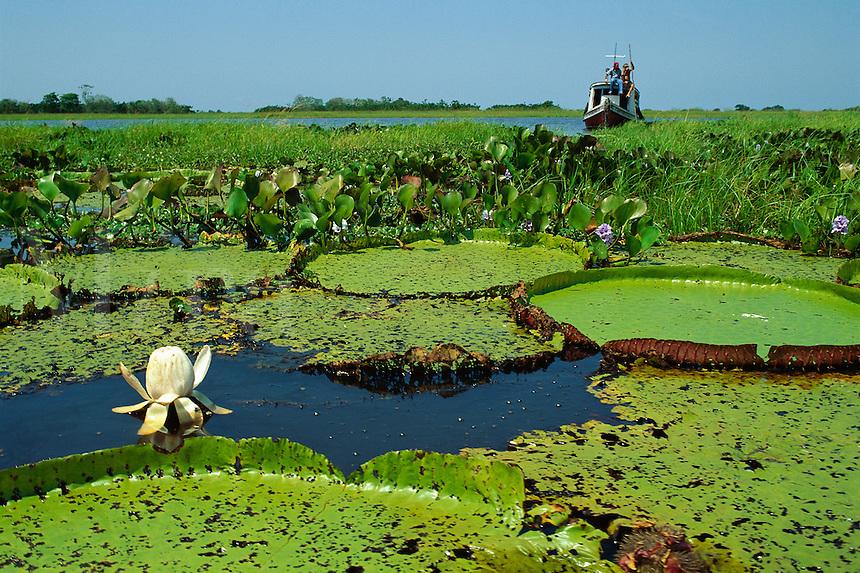 Victoria amazonica (previously Victoria regia), giant water lily in lower Amazon River, Brazil, Para..