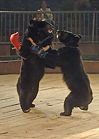 Asian brown bears, Hui Hui, wearing red gloves and Bei Bei box in a bizarre spectacle held twice daily at a Chinese wildlife park that describes itself as a bear sanctuary in Guanxi Province, China...SINOPIX PHOTO