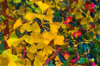 Gingko biloba tree branch with yellow fall color and flowering Camellia sassanqua 'Yuletide' in California garden, manipulated with photoshop