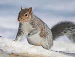 Squirrel in snow.