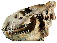 Fossil Skull & Lower Jaw, Merycoidodon culbertsoni, Oligocene, Lower Oreodon Beds, Bad Land Creek, Nebraska