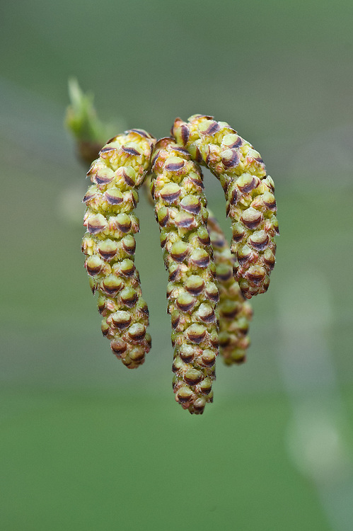 Catkins of yellow birch (Betula alleghaniensis), late March.