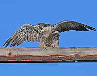 Adult peregrine falcon about to take flight