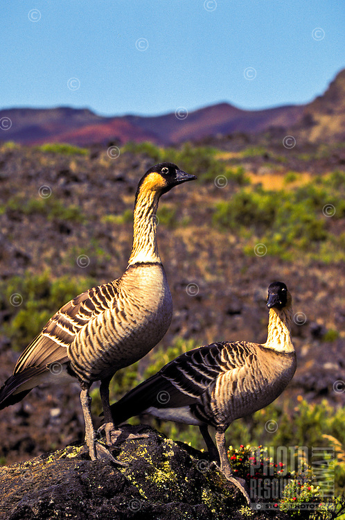 Male and female native Nene geese standing tall on Haleakala, Maui