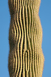 Tucson, Arizona; detail view of a Saguaro Cactus (Carnegiea gigantea) with a wavy pattern of spines