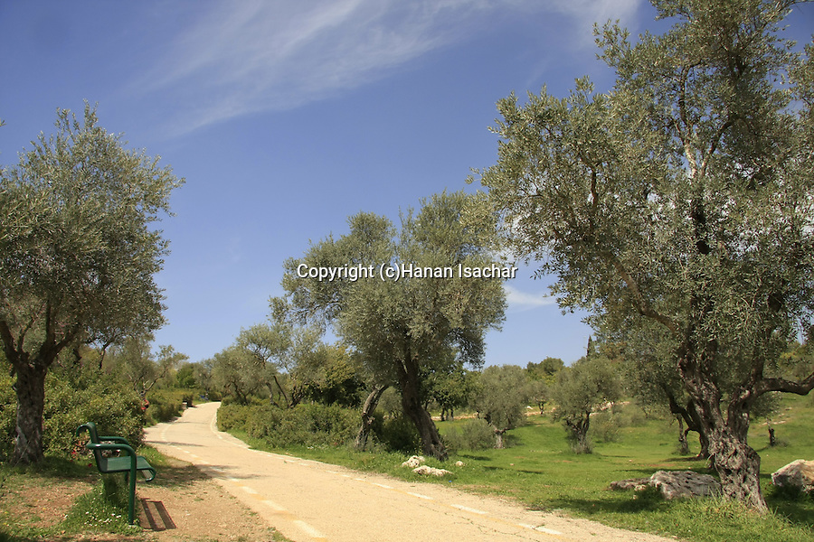 Israel, Jerusalem. Olive trees in the Valley of the Cross