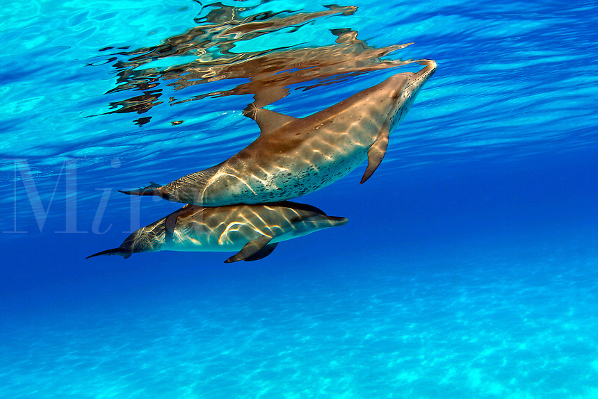 Atlantic Spotted Dolphin, Stenella plagiodon, have been sighted in herds of several thousand, although they are more often found in smaller groups.  Bahamas.<br />