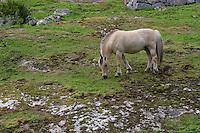Fjord-Pferd, Fjord - Pferd, Fjordpferd  in Norwegen, Norweger