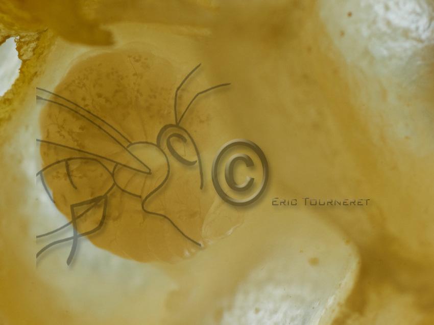Close-up of a larva. The larva is fed by the bees. Its appetite is such that within six days the larva has completed its growth. At the end of these 6 days, its weight is 500 times that of the egg. Then comes a resting stage when the wax-producing bees close its cell with a wax cap.<br /> Gros plan d&rsquo;une larve. La larve est nourrie par les abeilles. Son app&eacute;tit est tel qu&rsquo;en six jours la larve a parfait sa croissance. Au bout de ces 6 jours, son poids est 500 fois celui de l&rsquo;&oelig;uf. Vient alors une phase apparente de repos ou les abeilles ciri&egrave;re ferme sa cellule par un opercule de cire.
