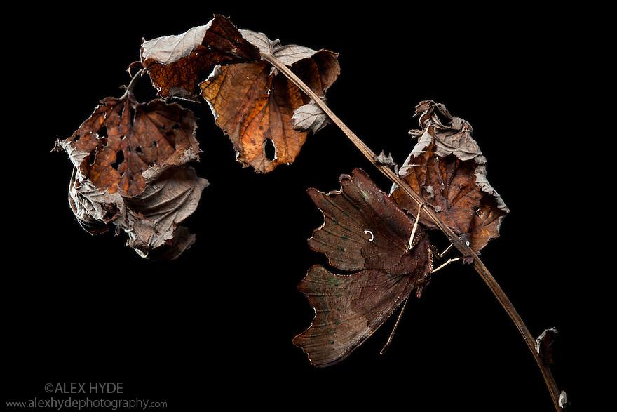 Comma butterfly {Polygonia c-album} camouflaged amongst dead vegetation. Peak District National Park, Derbyshire, UK. September.