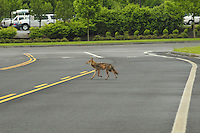 Wild coyote crossing road through industrial park in NE Portland, Oregon