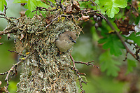 Adult female Bushtit (Psaltriparus minimus) departing its nest. King County, Washington. May.