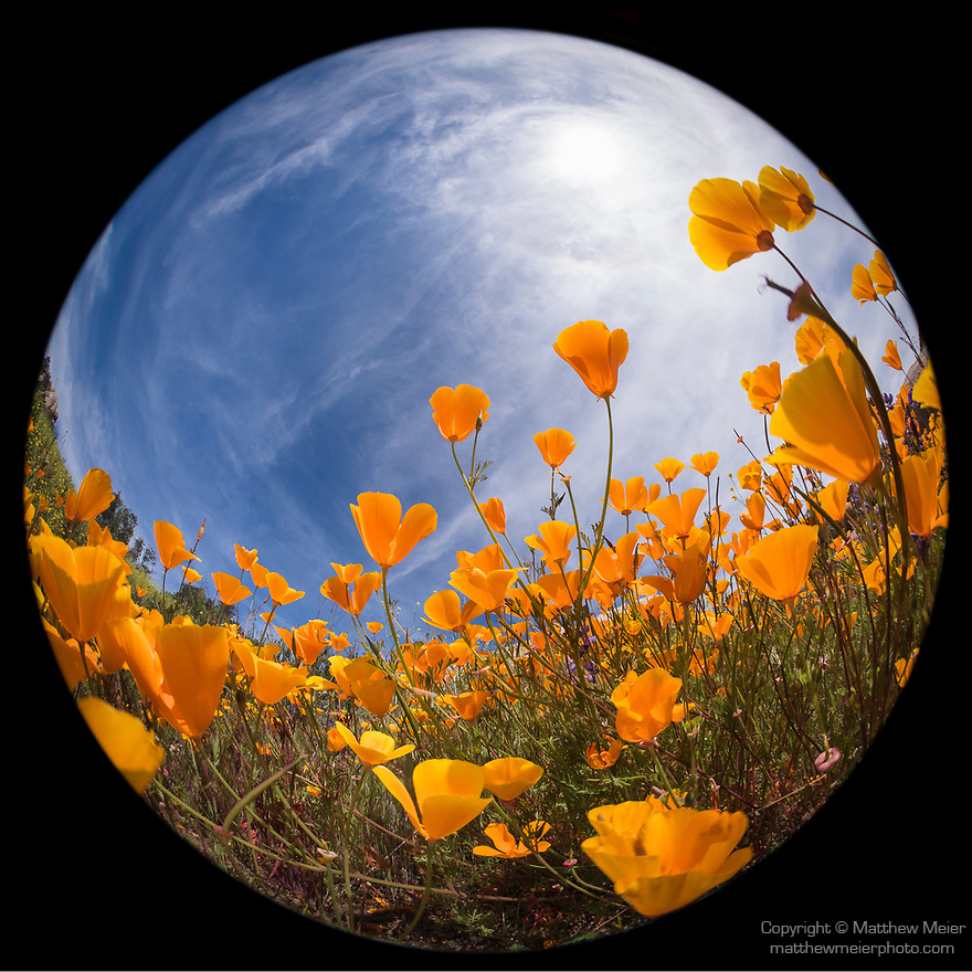 Escondido, California; a circular view of a field of California Poppies on a hillside on a sunny afternoon
