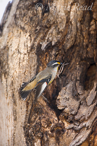 Striated Pardalote (Pardalotus striatus), with nest material outside nest hole in tree, Flinders Chase National Park, Kangaroo Island, Australia