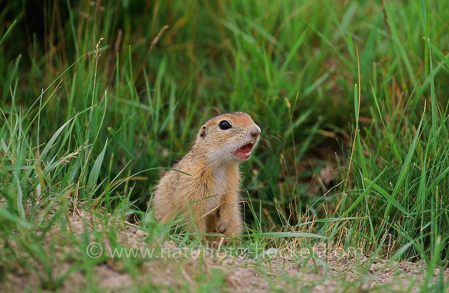 Europäischer Ziesel, Schlichtziesel, Spermophilus citellus, Citellus citellus, Erdhörnchen, Bodenhörnchen, European ground squirrel, European souslik