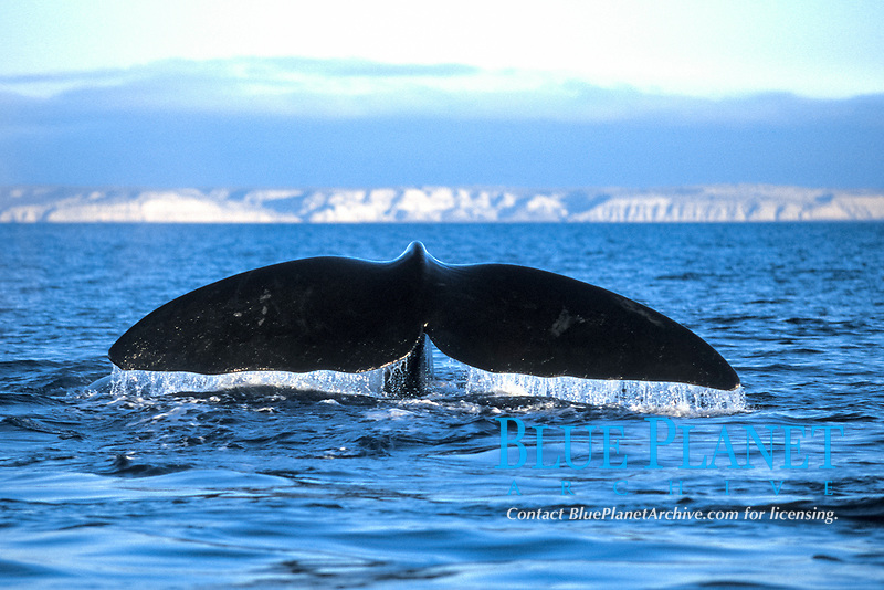 Adult Southern Right Whale, Eubalaena australis, fluke-up dive in Golfo Nuevo, Patagonia, Argentina.