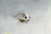 MA02-017x  Short-Tailed Weasel - ermine digging in snow for prey in winter - Mustela erminea