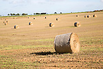 Round golden coloured straw bales in a field of stubble, Boyton, Suffolk, England