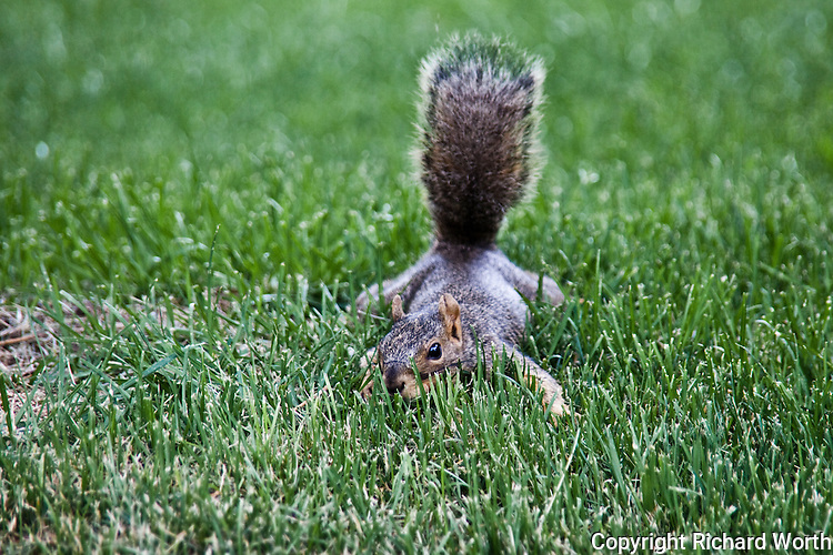 After first exhibiting a defensive posture, this Eastern fox squirrel is reconsidering and a moment later bounded away.