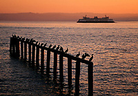 Silhouetted cormorants roost on pilings as a Washington State Ferry sails past on sunset-colored waters, Puget Sound, Washington State.