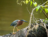 Green Heron, Butorides virescensm perched on a log in the Tortuguero River (Rio Tortuguero) in Tortuguero National Park, Costa Rica