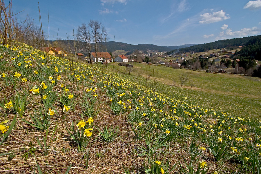 Gelbe Narzisse, Osterglocke, Osterglöckchen, Falscher Narzissus, Trompeten-Narzisse, Narzissen, Blumenwiese, Narcissus pseudonarcissus, wild daffodil, Tenby daffodil, Lent lily