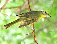 Female hepatic tanager