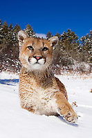 Young mountain lion (Felis concolor) exploring forest margins in fresh snow, extending paw