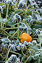 Autumn hoar frost on end-of-season squash plants, late October.