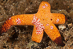 Starfish comb jelly (Coeloplana astericola)