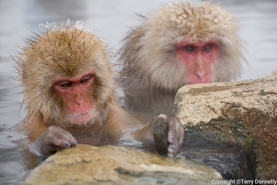 Jigokudani National Monkey Park, Nagano, Japan<br /> Japanese Snow Monkeys (Macaca fuscata) in hot spring waters of Jigokudani monkey park in the Yokoyu River valley younger playing with a stone