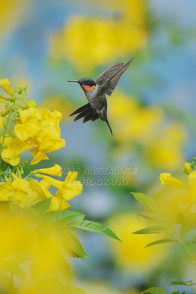 Ruby-throated Hummingbird (Archilochus colubris), male in flight feeding on Yellow bells (Tecoma stans) flower, Hill Country, Texas, USA